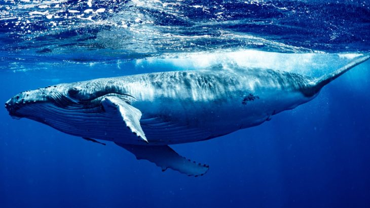 bitcoin balinalarinin satin alma etkinligi artiyor